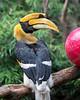 """Great Indian Hornbill, """"Hercules"""""""