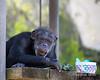 Looks like Minnie is enjoying her Easter basket!  (Chimpanzee)