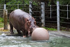 Bruce, the Nile Hippo, pushing his enrichment ball into the water.