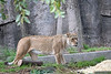 Sukari has her eye on something!  (African Lioness)