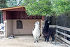 """""""Do you think we could reach that branch?""""  (Alpacas, Gandalf & Merlin, keeping the trees trimmed)"""