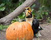 Now, let's see....what shall I carve?  (Great Indian Hornbill, Hercules)