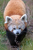 Red Panda, Hunter