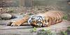 Sumatran Tiger, Leanne, snoozing.