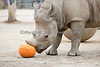 Boone, the Black Rhinoceros, shows us how to capture a pumpkin during Boo at the Zoo:  First, you sneak up on it and pin it down...