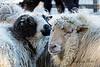 Jacob's & Navajo Churro sheep at the Children's Zoo