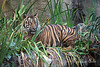 Larry, a Sumatran Tiger, in camouflage.
