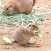 One of this year's Prairie Dog pups, nibbling on some greens.