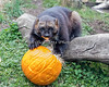 Rocky is having a great time digging the stuffing out of his pumpkin!  (Wolverine)