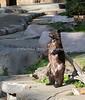 Black Bear cub, Juneau, scratching her back on the log.