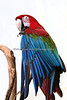Don't look - I'm cleaning my toes!  (Green-winged Macaw)