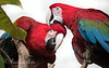 Best friends.  (Green-winged Macaws)