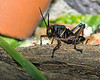 Southeastern Lubber Grasshopper in the Insect Zoo.