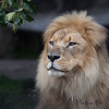 There's nothing prettier than a lion in filtered light - especially Jahari!  (African Lion)