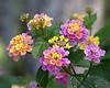 Beautiful, multicolored Lantana flowers.