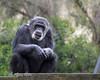 Cobby, the Chimpanzee