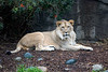 18 month old African Lion, Jasiri, is growing in a mane!