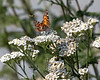Painted Lady Butterfly feeding on Yarrow Flowers, with a Yellow Jacket just behind.