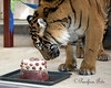 The Keepers made Jillian a very special cake for her 4th birthday party! (Sumatran Tiger)