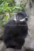 One of the young Francois' Langurs.