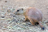 One of the new Prairie Dog pups, born this year.