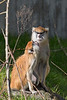 Winnie and her son, JP, who is demanding her attention.  (Patas Monkeys)