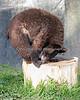 Little Black Bear, Juneau, searching for treats in the tree stump.