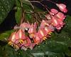 I found these beautiful blooming begonias in the South American Tropical Rainforest & Aviary.