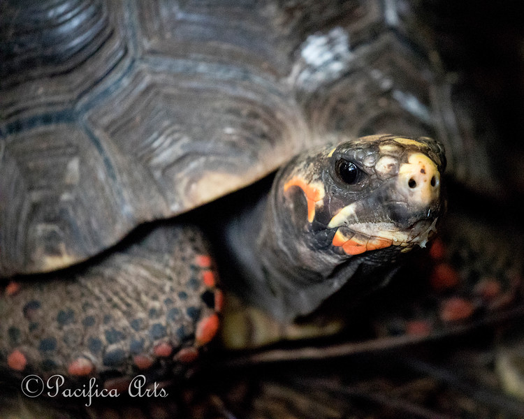 Red Footed Tortoise.  <br /> He has a special area, just behind the ducks, in the South American Tropical Rainforest & Aviary.
