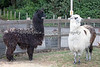 Alpacas, Merlin & Gandalf, at the Family Farm