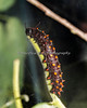 California Pipevine Swallowtail caterpillar devouring a stem.