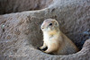 A young black-tailed Prairie Dog