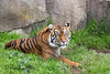 Sumatran Tiger, Leanne - always pretty as a picture.