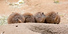 The other side of the Black-tailed Prairie Dogs,