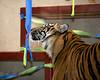 Edible?  Nope!  (Sumatran Tiger, Jillian at her birthday party)