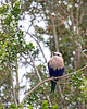 Blue-bellied Roller, up in the trees, in the African Aviary.