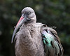 The closer you are, the prettier this bird is!  (Hadada Ibis)