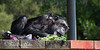 Stocked up with plenty of veggies, Maggie stretches out to eat her lunch.  (Chimpanzee)