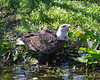 Bald Eagle, Sureshot, coming down to the pond for a drink.