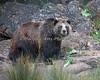 Female Grizzly Bear, Kiona