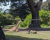 Reticulated Giraffe, Ingrid, snoozing in the sun.
