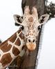Barbro, a female Reticulated Giraffe