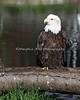 "Bald Eagle, ""Sureshot"""