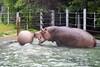 It's aquatic soccer time for Bruce, the Nile Hippopotamus!