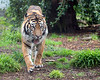 Sumatran Tiger, Larry, patrolling his yard.