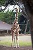 Ingrid, a young, female Reticulated Giraffe
