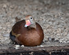 A cute little Black-bellied Whistling Duck at the Family Farm