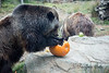 Bear claws are great for getting the flesh and seeds out of the pumpkins!  (Grizzly Bears, Kiona & Kachina)