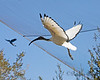 Sacred Ibis in flight inside the African Aviary