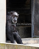 Maggie hanging out in the doorway.  (Chimpanzee)